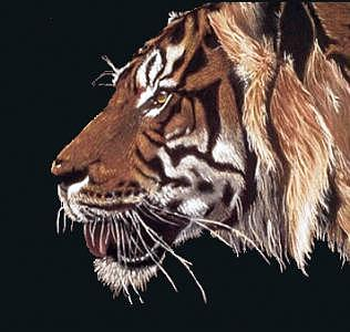 Portrait Painting - Bengal Tiger by W James Taylor