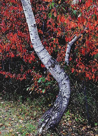 Nature Photograph - Bent by Alastair  MacKay
