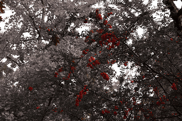 Nature Photograph - Berry Trees by Bill Ades