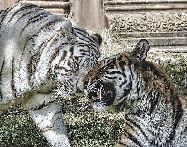 Tiger Photograph - Best Friends by Keith Lovejoy