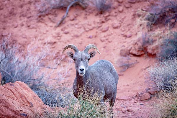 Nevada Photograph - Big Horn Sheep by David Cote