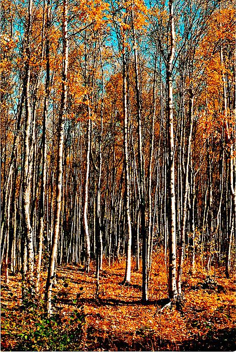 Birch Photograph by Brigid Nelson