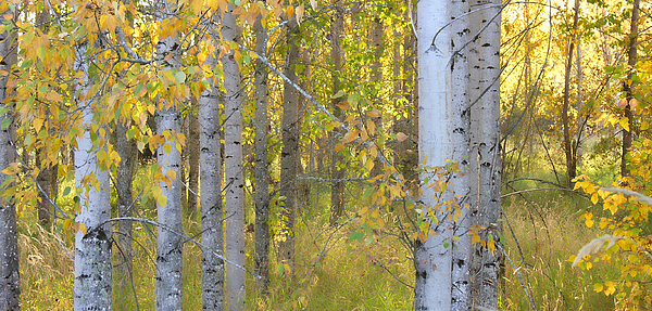 Birch Trees Photograph - Birch Forest by Bonnie Bruno