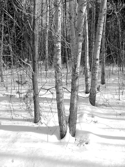 Birch Trees Photograph - Birch Trees by Douglas Pike