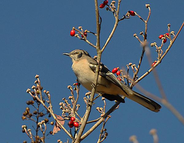 Bird Photograph - Bird N Berry by Russ Mullen