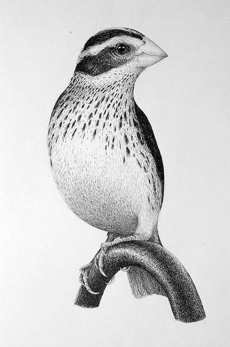 Pen Drawing - Bird by Rens Ink