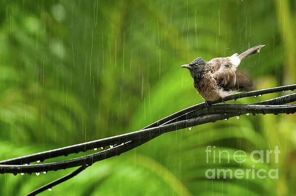 Birds Of Sri Lanka Photograph - Birds Of Sri Lanka  Pycnonotus Cafer by Venura Herath