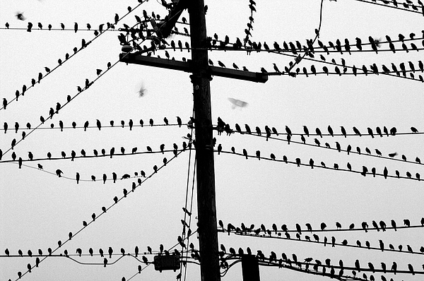 Black And White Photograph - Birds On A Wire by Don Prioleau
