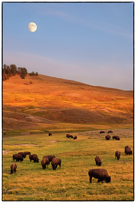 Vertical Photograph - Bison Grazing On Hill At Hayden Valley by Sankar Raman
