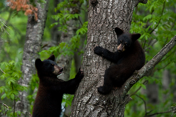 Black Bear Photograph - Black Bear Brothers by Michael Klarich
