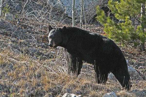 Black Bear Photograph - Black Bear by Dave Clark