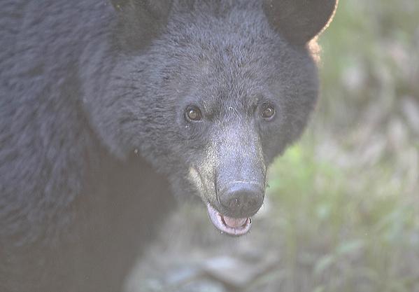Shenandoah Photograph - Black Bear  by Glenn Vidal