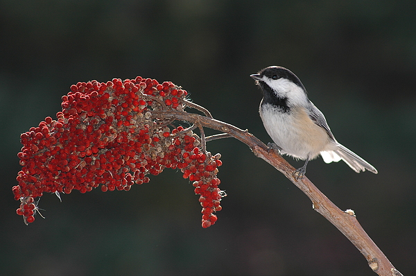Birds Photograph - Black-capped Chickadee by Raju Alagawadi