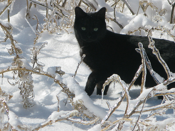 Cat Photograph - Black Cat by Martie DAndrea