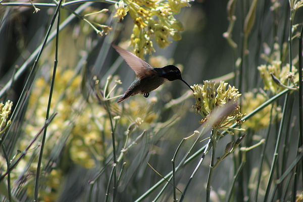 Rancho Mirage Photograph - Black Chinned Hummingbird In Flight by Colleen Cornelius