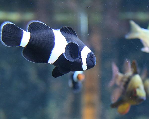 Fish Photograph - Black Clown Fish by Aimee Galicia Torres