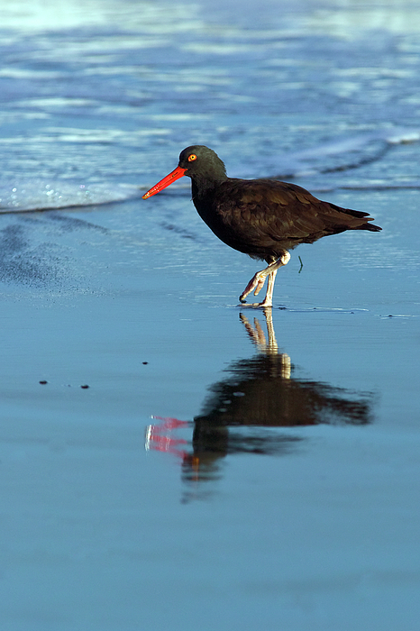 Animal Photograph - Black Oystercatcher by Randall Ingalls
