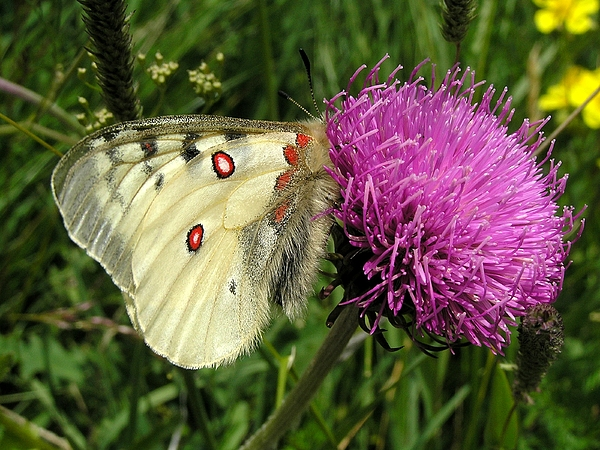 Butterfly Photograph - Blancarosa by Jean-Michel Ammon