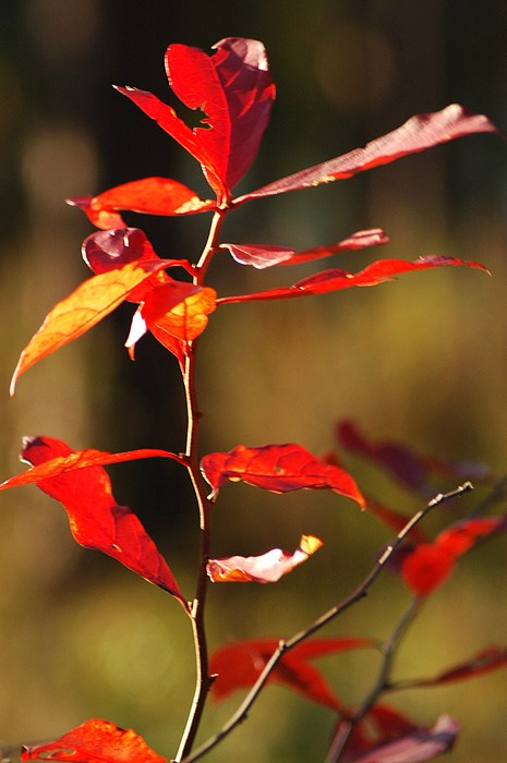 Foliage Photograph - Blazing Fire by Lori Mellen-Pagliaro