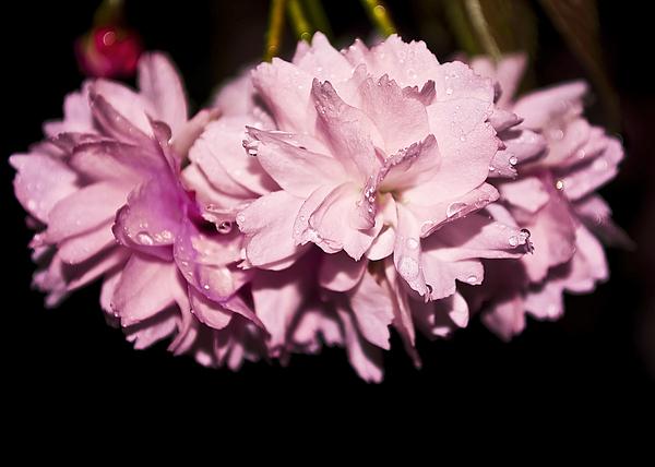 Flower Photograph - Blossom by Svetlana Sewell