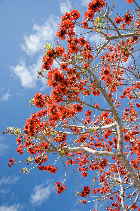 Nature Photograph - Blossoming Coral Tree by Julia Hiebaum