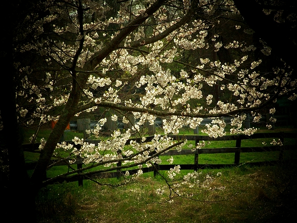 Cherry Blossoms Photograph - Blossoms Fence by Michael L Kimble