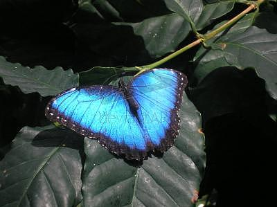 Butterfly Photograph - Blu Wings by Carlos Rosado