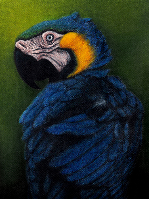 Macaw Pastel - Blue And Gold Macaw by Enaile D Siffert
