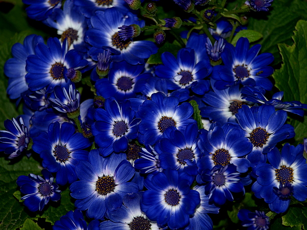 Flowers Photograph - Blue Flowers by Laura Allenby