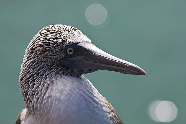American Photograph - Blue Footed Booby II by Dave Fleetham