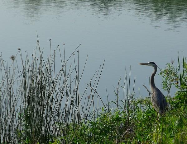 Nature Photograph - Blue Heron by Anna Villarreal Garbis