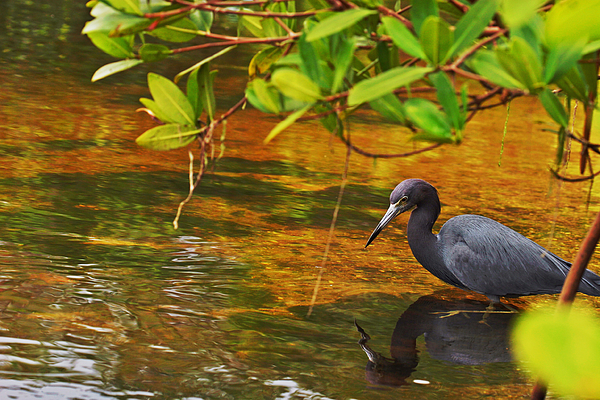 Blue Heron Photograph - Blue Heron by Mark Russell