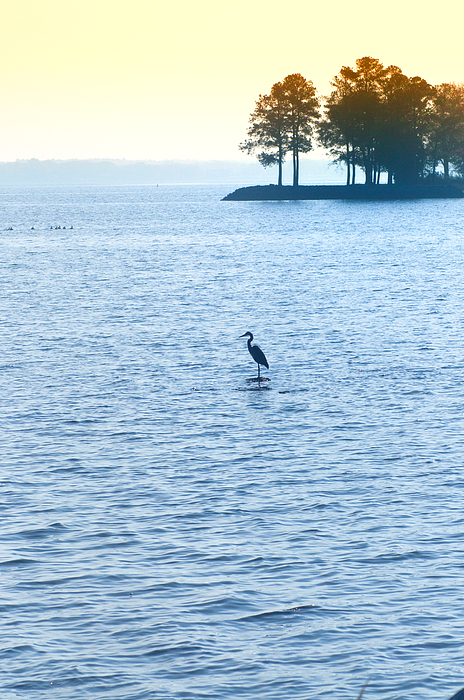 Saint  Photograph - Blue Heron On The Chesapeake by Bill Cannon