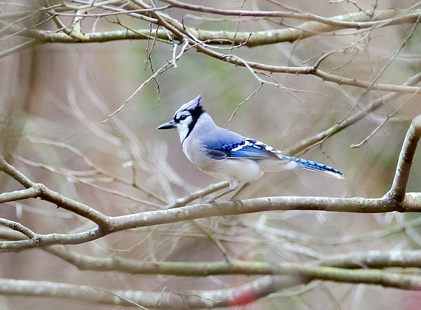 Blue Jay Photograph - Blue Jay by George Randy Bass