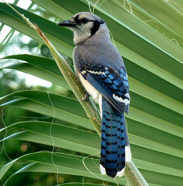 Blue Jay Photograph - Blue Jay Protector by Kicking Bear  Productions