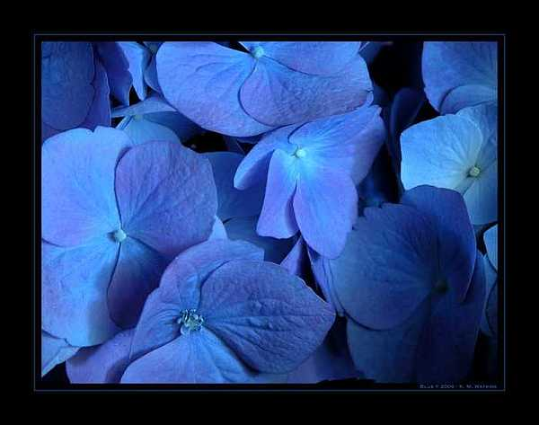 Hydrangea Photograph - Blue by Kate Watkins
