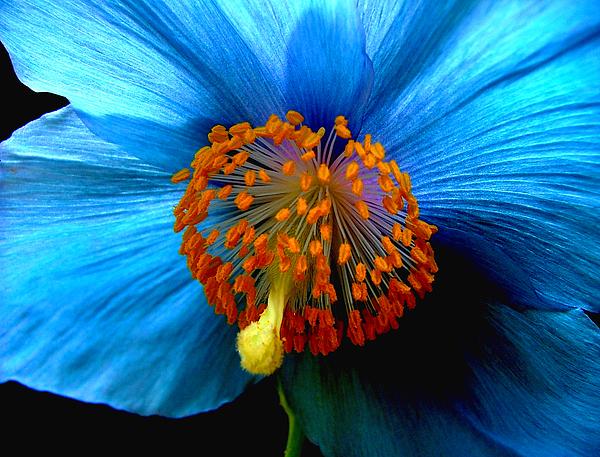 Meconopsis Photograph - Blue Poppy II - Closeup by Robert Nankervis