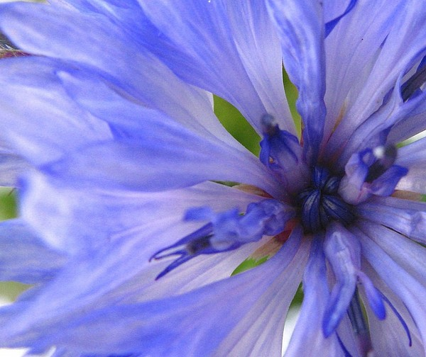Flower Photograph - Blue Princess by Rhonda Barrett