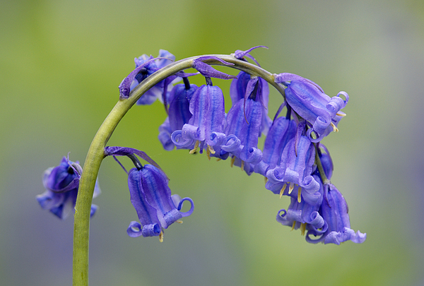Bluebell Photograph - Bluebell by Liz Pinchen