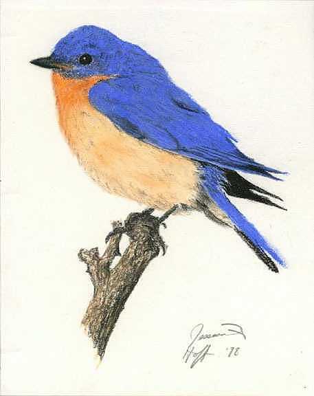 Bird Drawing - Bluebird by Jesska Hoff