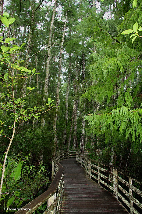 Bald Cypress Tree Photograph - Boardwalk Through The Bald Cypress Strand by Barbara Bowen
