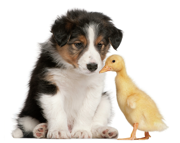 Horizontal Photograph - Border Collie Puppy And Domestic Duckling by Life On White