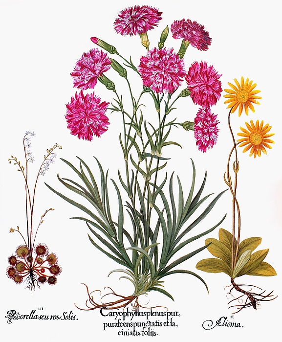 Arnica Photograph - Botany: Flowers, 1613 by Granger