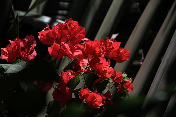 Flowers Photograph - Bougainvilleas by Edward R Wisell