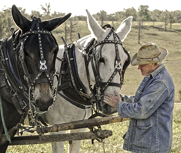 Mule Photograph - Bound By Trust by Ron  McGinnis