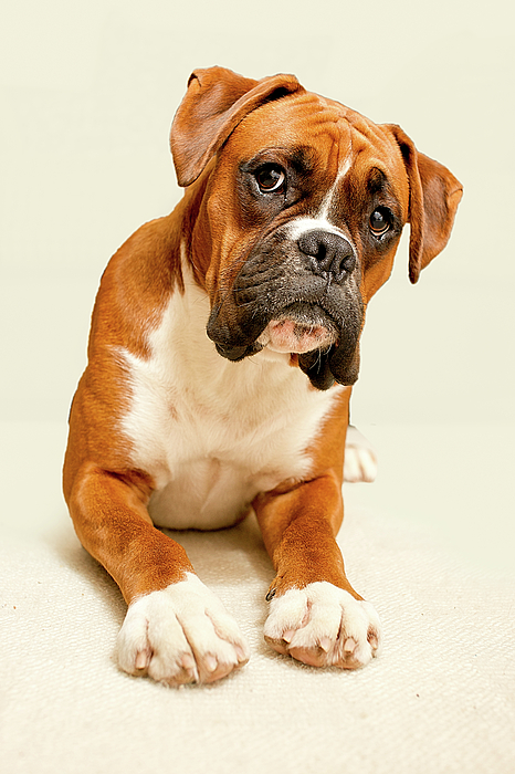 Vertical Photograph - Boxer Dog On Ivory Backdrop by Danny Beattie Photography