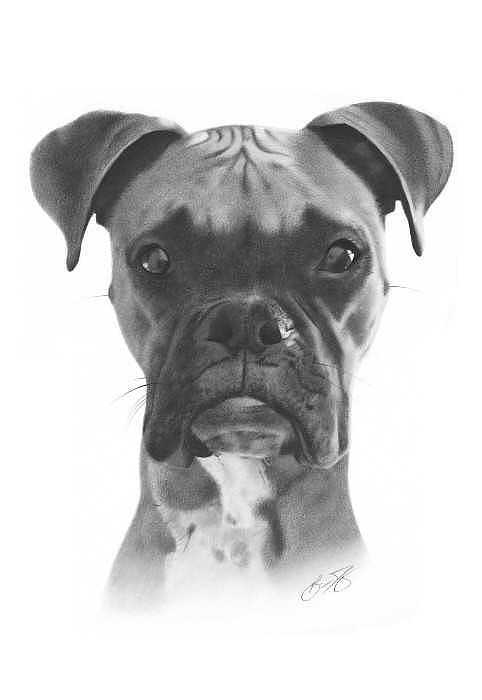 Boxer Dog Pencil Drawing Drawing by Brian Duey