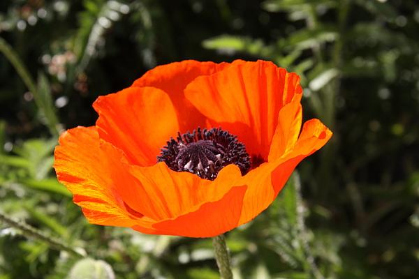 Poppy Photograph - Brilliant Color  by Sue Mayor