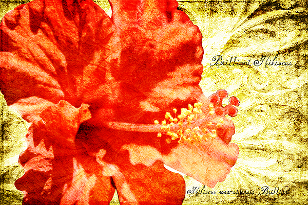 Hibiscus Digital Art - Brilliant Hibiscus by Teresa Mucha