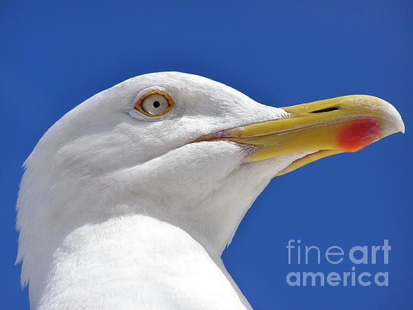 Bird Photograph - British Herring Gull by Terri Waters